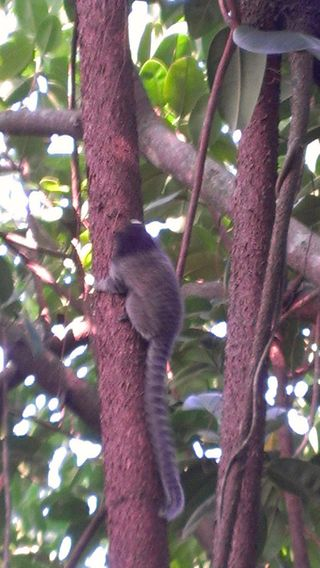 Marmaset Monkey on Pao Acucar
